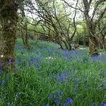 bluebells may 23rd gruinart nature reserve
