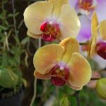 unlimited orchids