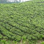 Tea Plantations en-route