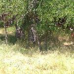 One of numerous deer!