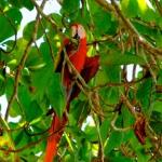 Scarlet Macaws are BIG