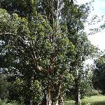 ユーカリの大木