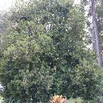 マカデミアナッツの木