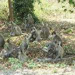 Family of common langurs