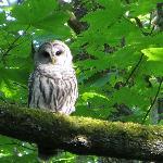 Saw an owl
