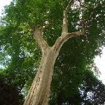 Big Tree at Koh Ke area