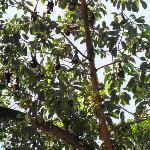 Fledermäuse in Cairns