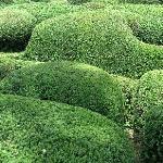 Topiary Texture Closeup