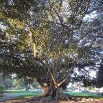 Gnarly old Hyde Park tree