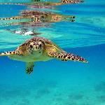 Wasserschildkröte beim Schnorcheln