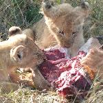 lion cubs feeding on meat for the first time