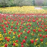 Tulips in April, Luisenpark