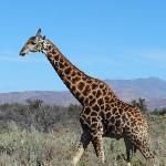 Een giraf in het wild!!!!!!