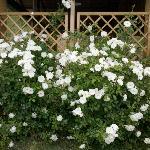 le rose abbondano ovunque