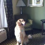 Jiffy - our service golden retriever