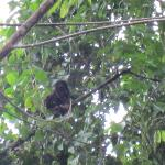 howler monkey in yard