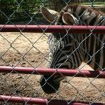 Zebra at North Georgia Zoo