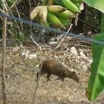 Agouti Below Banana Tree