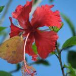 Hibiscus Outsie Cariblanco