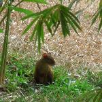 Agouti Outside Cariblanco
