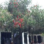 bottle brush trees next to restaurant
