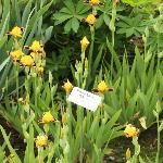 Mini Bumblebee Iris
