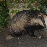 badgers in the garden of Woodlands, wow!