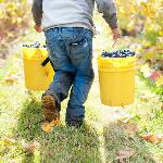 Transporting hand picked Pinot noir
