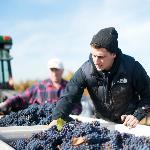Hand sorting fruit in Coelho Estate Vineyard