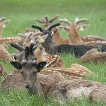 Fallow deer in Phoenix Park, Dublin