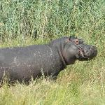 a hippo greeted us when we arrived at the camp