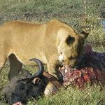 lion eating a water buffalo