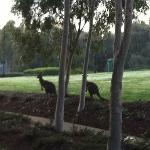 Kangaroos outside my room one morning
