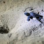 baby turtle at bhanga nek