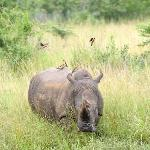 rhino and oxpeckers at hluhluwe