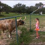 feeding one of the Longhorn cows