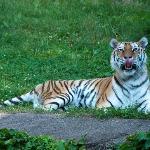 Tiger Licking his Chops