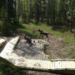 Curious Moose wanders onto the property.