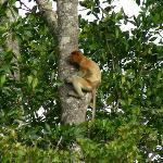 scimmie nasute