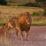Windswept lions