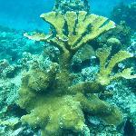 Elkhorn coral 5-6 ft high