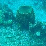 Bucket Coral