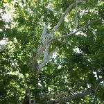 Sycamore tree at Naropa Univ near bikepath