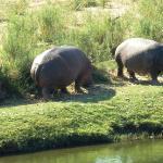 Hippos besuchten uns