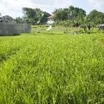 Adjacent Padi Field
