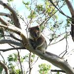 Koala! In the tree just in front of the cottage.