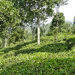tea plantations surrounding lazy hills