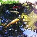 Koi pond at the gardens