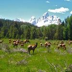 An elk herd that we rode through--you always see an abundance of wildlife on rides.