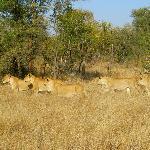 lionesses